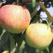 Сорт яблони Подарок Графскому: фото, отзывы, описание