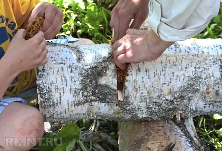Выращивание грибов опенок в домашних условиях