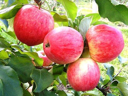 Яблоня конфетное описание фото
