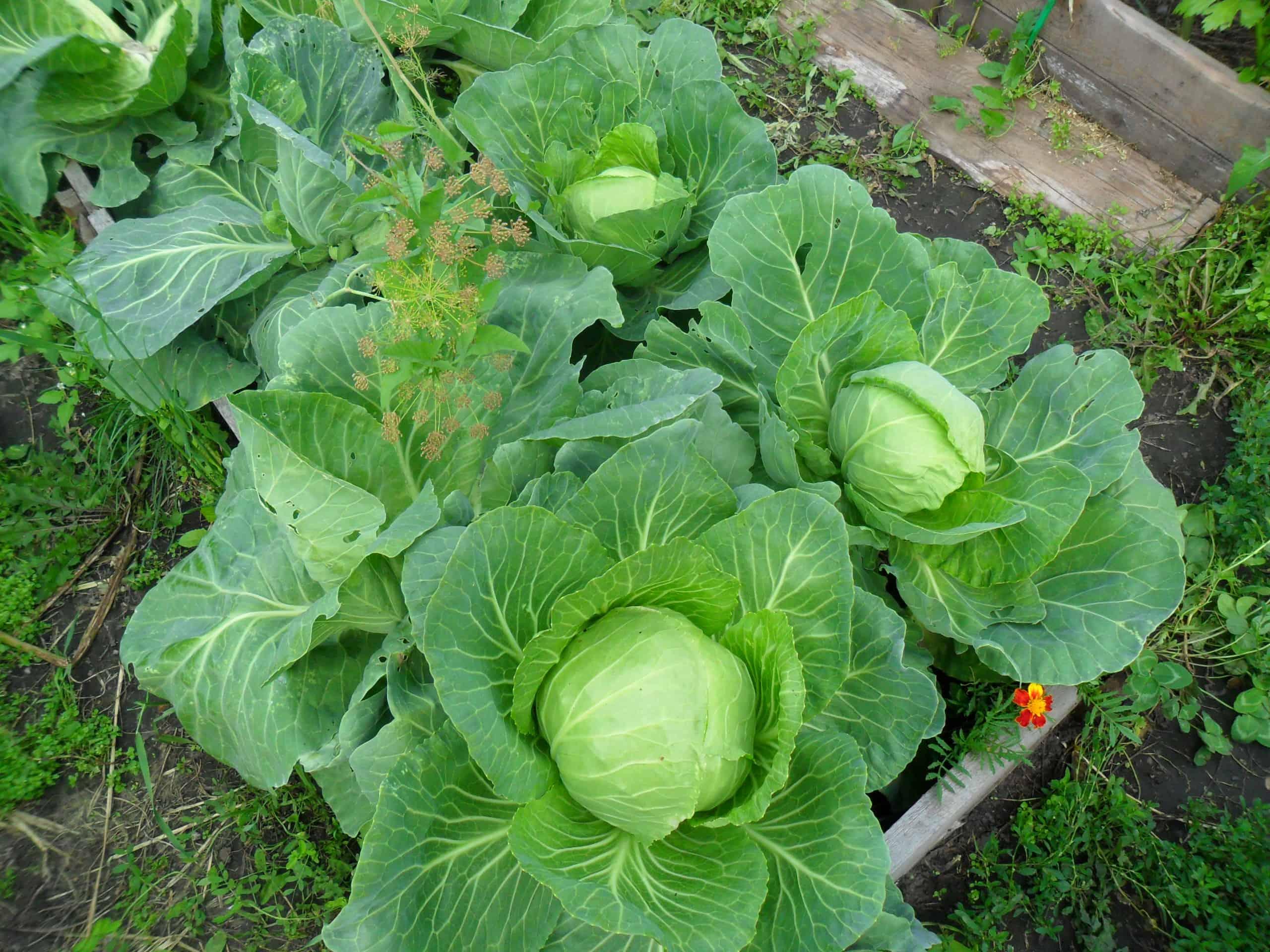 Фото выращивание капусты 42