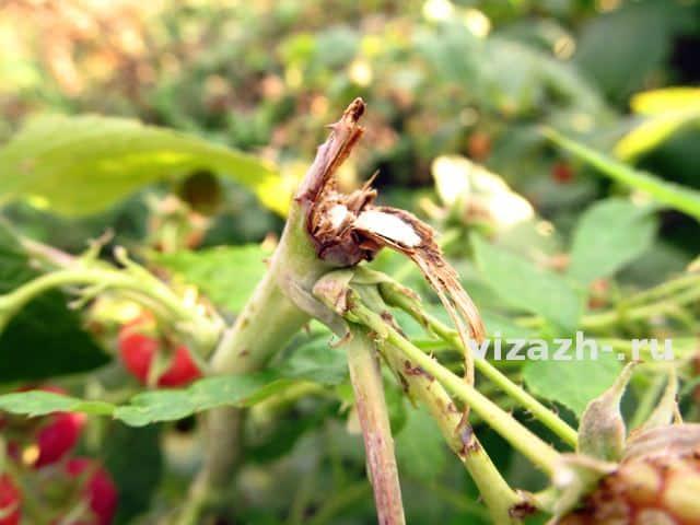 Поражение побегов малинным комариком