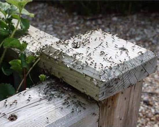 Если не предпринимать мер по уничтожению колонии муравьев, выращивать овощи в вашей теплице станет невозможно.