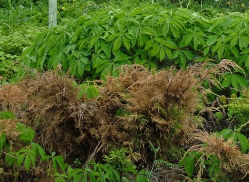 При массовом поражении веток, растение лучше удалить полностью с участка.