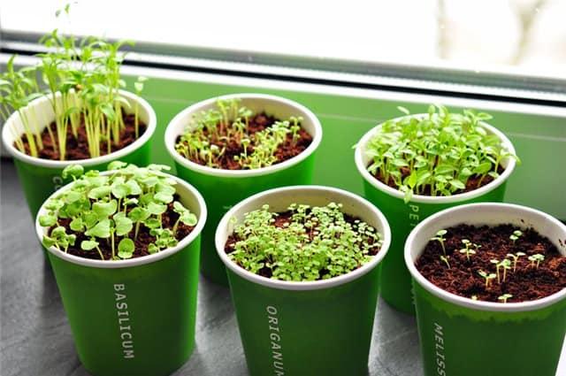 Проращивать зелень можно в небольших стаканчиках, а позже пересадить в просторный ящик.