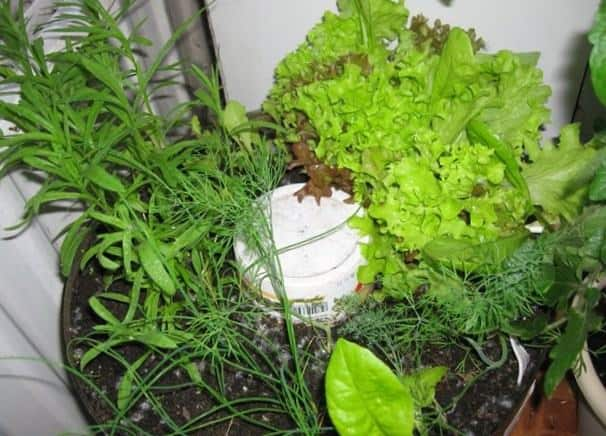Салат-латук прекрасно может соседствовать с другой зеленью на вашем подоконнике.