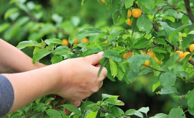 abrikos-dlya-podmoskovya-3