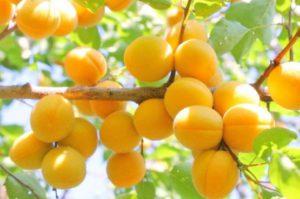 abrikos-dlya-podmoskovya-7
