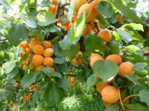abrikos-dlya-podmoskovya-8