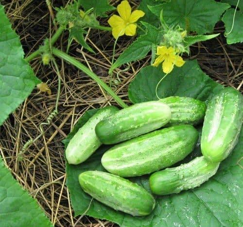 «Нежинский» - один из любимых сортов многих огородников.