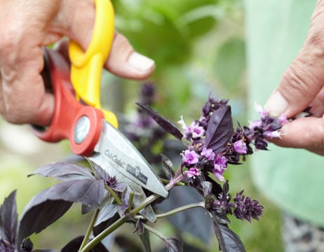 Удаление соцветий необходимо, чтобы растение кустилось.