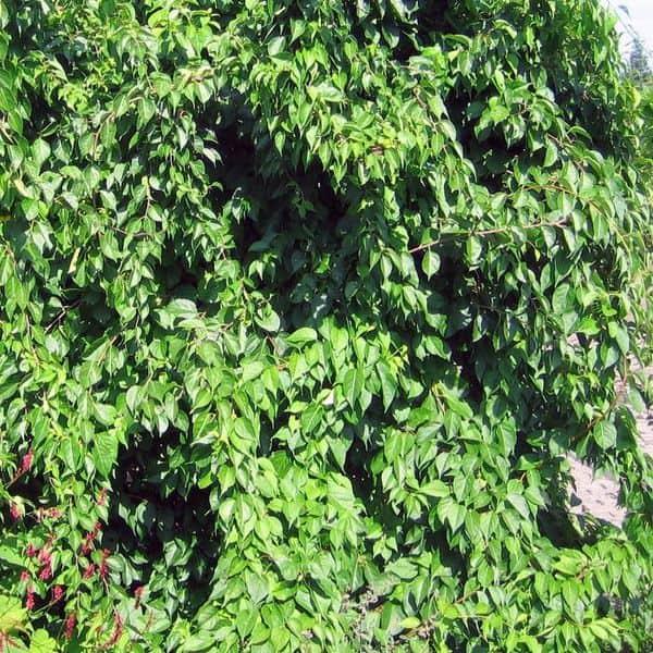 drevogubec-kruglolistniy