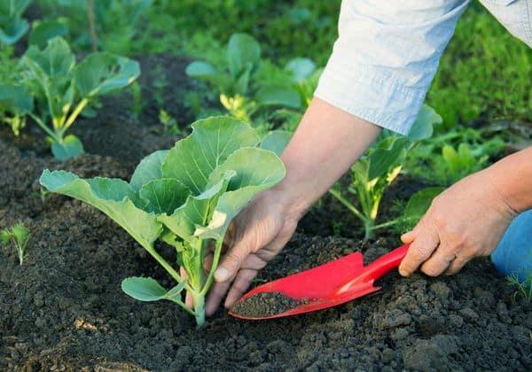 Высаживание цветной капусты