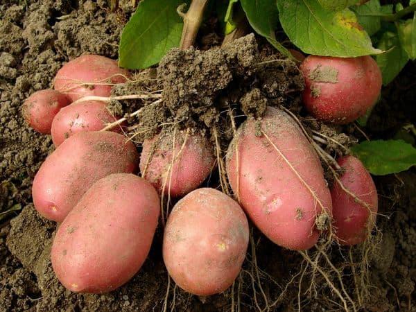 Урожай картофеля Родриго