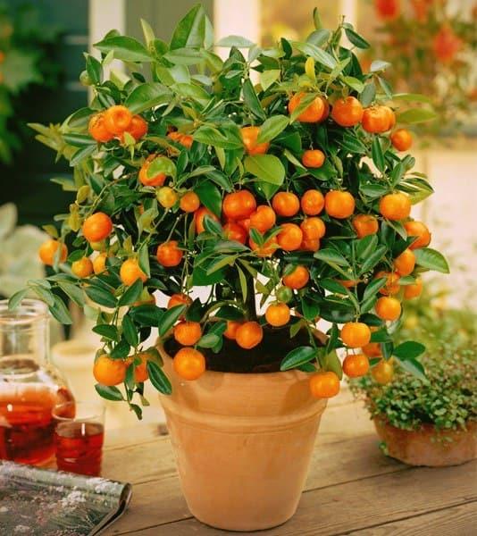 Апельсин комнатный уход в домашних условиях