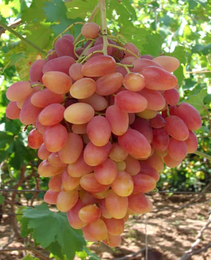 сорт винограда блестящий фото и описание отзывы