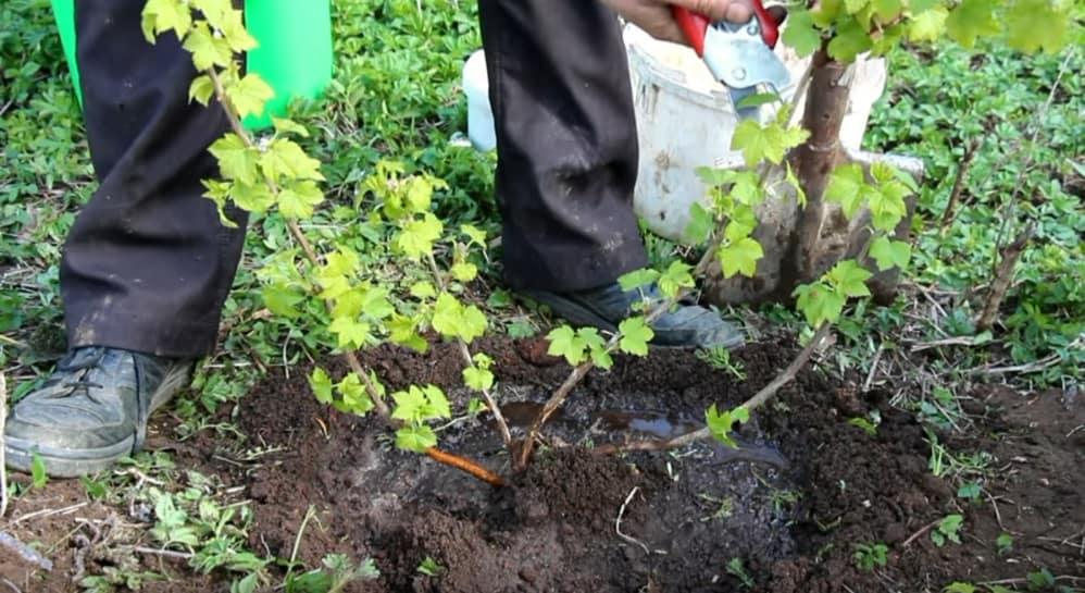 Можно ли сажать смородину рядом с яблонями 846