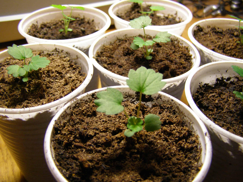 Как вырастить рассаду земляники из семян - Дачные советы