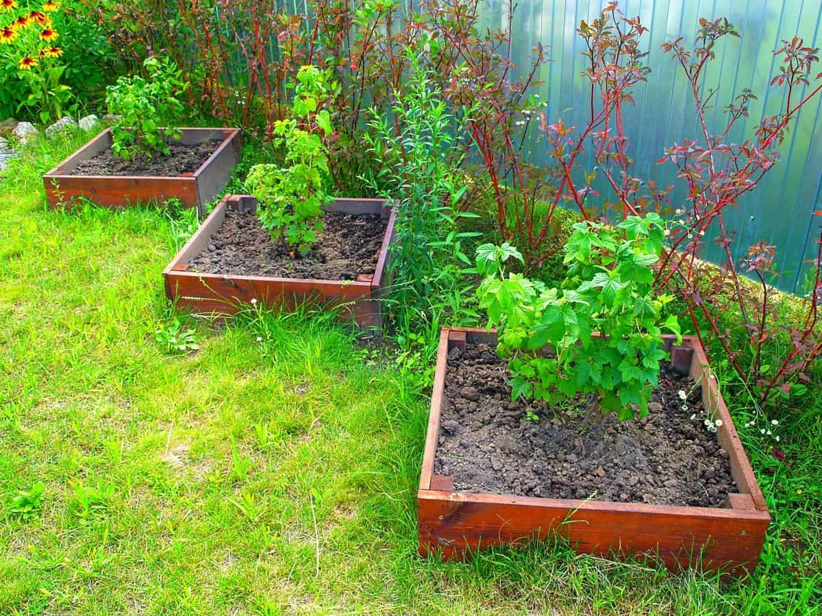 Выращиваем черную смородину