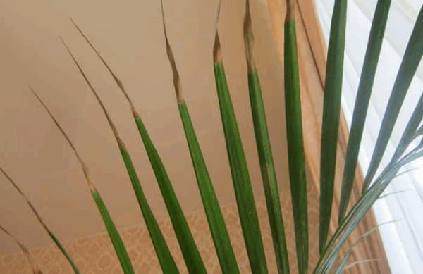 Пальма домашняя сохнут листья уход в домашних условиях 425