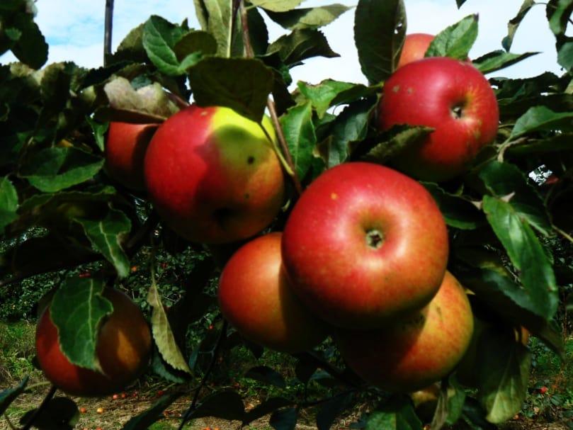 Сорт яблони Айдаред