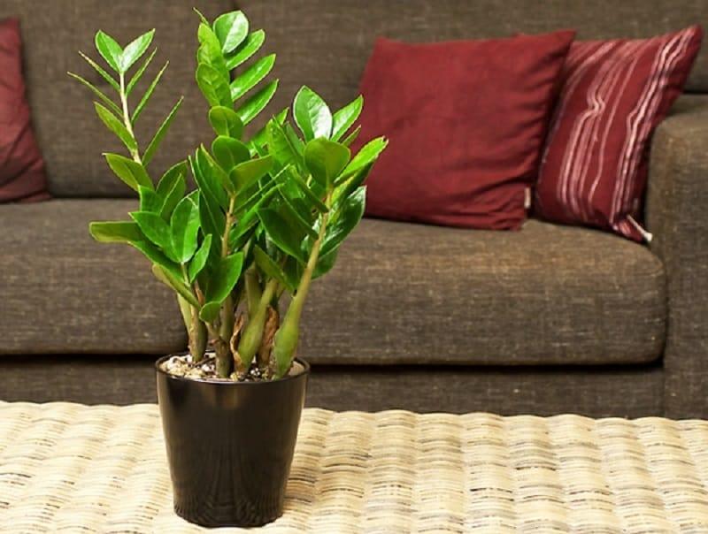 Горшок для долларовое дерево в домашних условиях 725