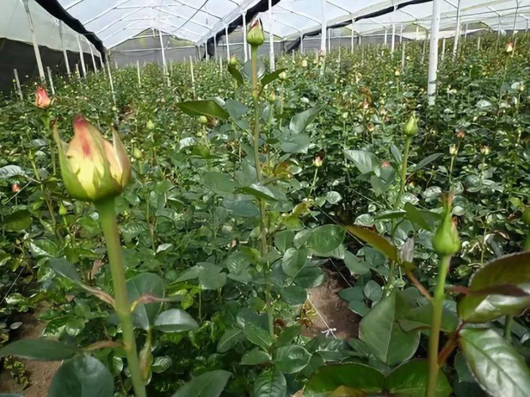 Голландские розы как сажать 13