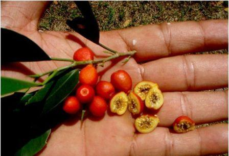 красно-оранжевые плоды