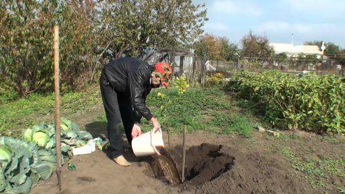 Как удобрять груши осенью