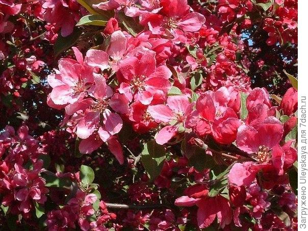 Яблоня с красными цветами фото