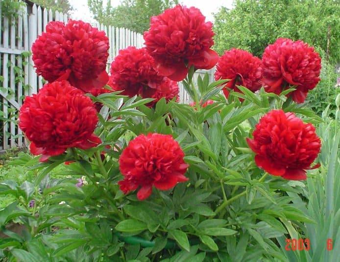 Красные пионы