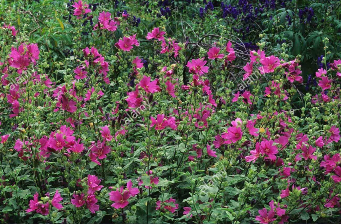 Лаватера - выращивание из семян в открытый грунт или на 94