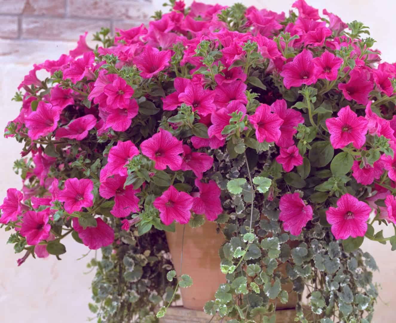 Фото цветка петуния ампельная