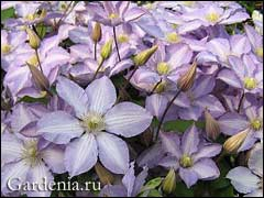 Светлые цветы