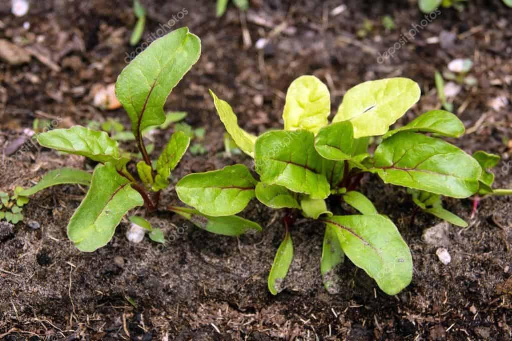 Листовая свекла мангольд выращивание 86
