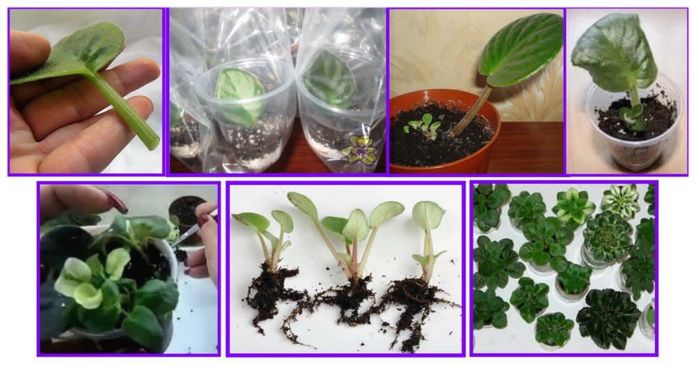 Как правильно посадить листочек фиалки с корешком