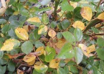 Заболевшие листья