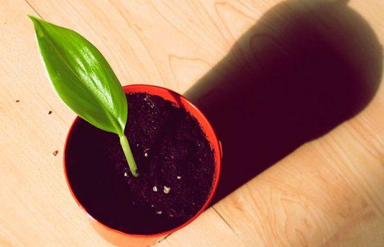 Выращивание из семян банана