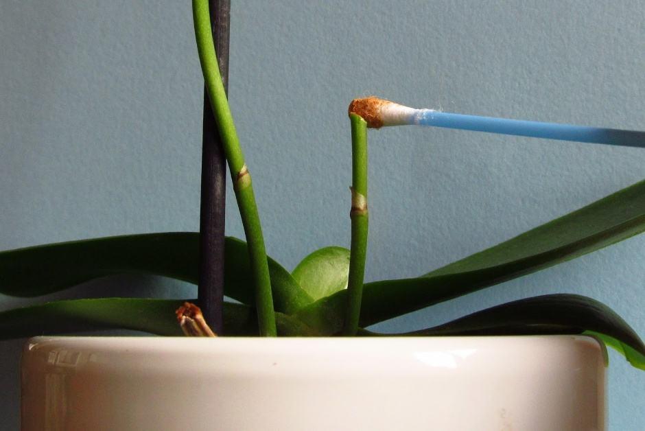 Как правильно обрезать орхидеей в домашних условиях