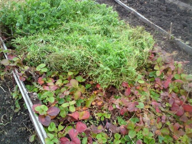 Листья клубники осенью