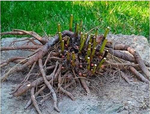 Размножение корнем