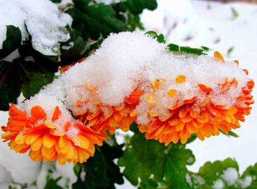Растение под снегом