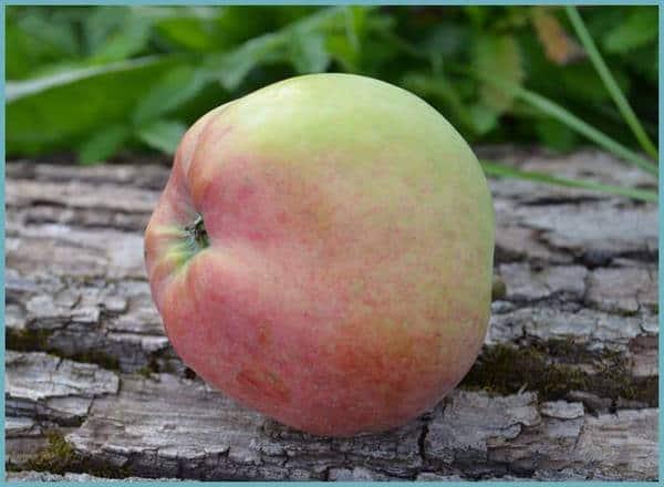 описание фото яблок сорта сорта и штрифель