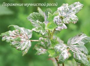 Поражение листьев малины мучнистой росой