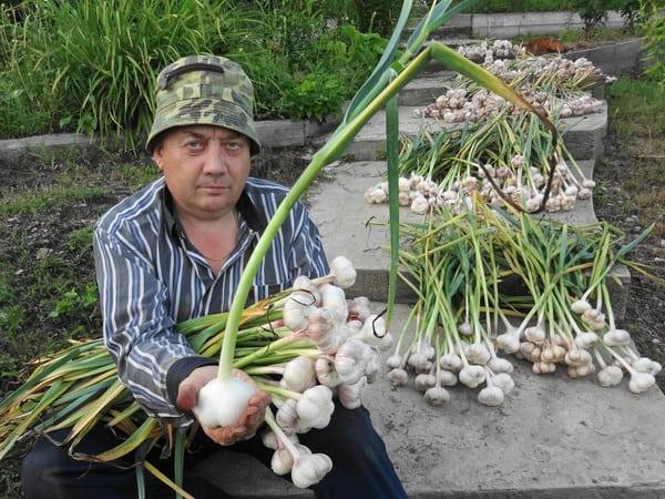 Вот такой чеснок выращивает Игорь Лядов на своих грядках