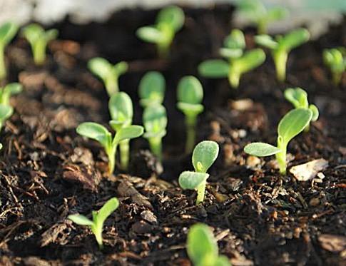 Всходы мезембриантемума из семян