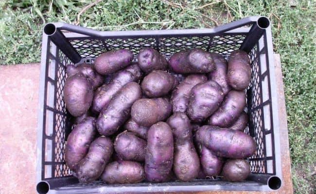 Посадочный фиолетовый картофель