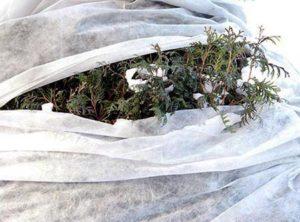 pozhelteli-mozhzhevelniki-12