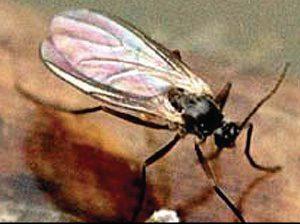 Галлицы - совсем не безобидный комар.