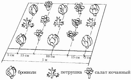 Схема выращивания петрушки, капусты и салата.