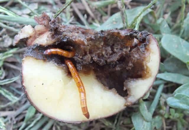 Один из картофельных вредителей - личинка жука-щелкуна, он же проволочник.
